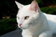 白色猫 库存照片