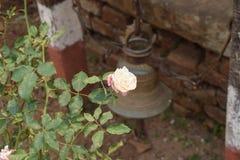 白色玫瑰在尼泊尔 库存图片