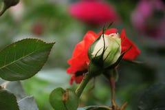 白色玫瑰在春天 免版税图库摄影