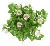 白色玫瑰在白色隔绝的树植物顶视图  库存照片