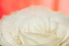 白色玫瑰宏指令在红色的 库存图片