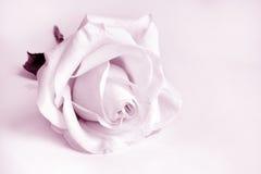 白色玫瑰特写镜头  免版税库存照片