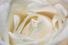 白色玫瑰的瓣 免版税库存照片