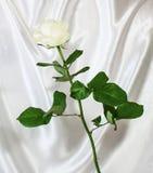 白色玫瑰背景的抽象 图库摄影
