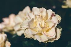 白色玫瑰色芽在庭院里 免版税库存照片