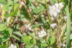 白色玫瑰花特写镜头在有一只蜂的一个庭院里在花 免版税库存图片