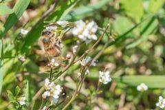 白色玫瑰花特写镜头在有一只蜂的一个庭院里在花 免版税库存照片