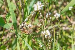 白色玫瑰花特写镜头在有一只蜂的一个庭院里在花 图库摄影