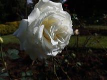 白色玫瑰花被隔绝的花 库存照片