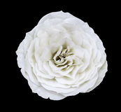 白色玫瑰花,染黑与裁减路线的被隔绝的背景 特写镜头没有阴影 库存照片