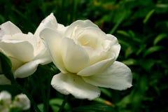 白色玫瑰,白花的精美瓣 免版税库存照片