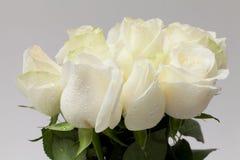 白色玫瑰 免版税库存照片