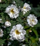 白色玫瑰spinosissima 免版税库存图片