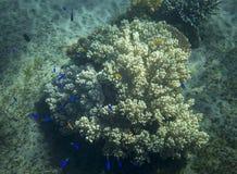 白色珊瑚的蓝色鱼殖民地 热带海滨居民水下的照片 库存图片