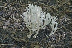 白色珊瑚(Ramariopsis kunzei) 免版税库存图片