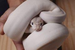 白色球Python蛇 库存照片