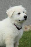 白色瑞士牧羊犬美丽的小狗  库存照片