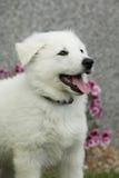 白色瑞士牧羊犬美丽的小狗  免版税库存图片