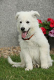 白色瑞士牧羊犬美丽的小狗  免版税库存照片