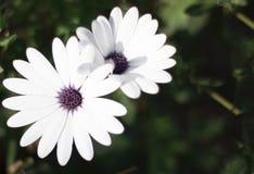 白色瓣和紫色中心花 免版税库存图片