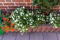 白色生长在砖容器的一个大阳台的蝴蝶花和橙色喇叭花 图库摄影