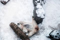 白色男性北极熊愉快地躺下此外木的注册 库存照片