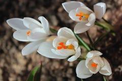 白色番红花在春天庭院里 免版税图库摄影