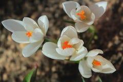 白色番红花在春天庭院里 免版税库存图片