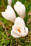 白色番红花花在春天 免版税库存照片