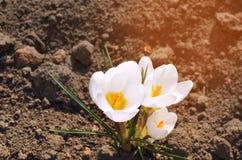 白色番红花,春天,美丽的花,自然墙纸,特写镜头的概念 免版税库存照片