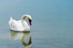 白色疣鼻天鹅游泳在Drestwo湖 免版税库存图片