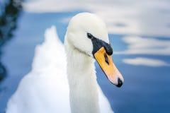 白色疣鼻天鹅头在池塘的 库存照片