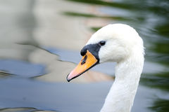 白色疣鼻天鹅头在池塘的 免版税库存照片