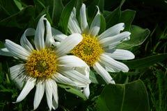 白色白毛黄花草-爱达荷 库存照片