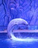 白色白海豚鲸鱼 库存图片