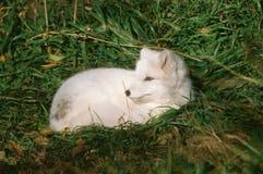 白色白狐的夏天画象 免版税库存照片