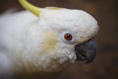 白色白色美冠鹦鹉特写镜头 免版税库存图片