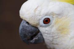 白色白色美冠鹦鹉特写镜头 图库摄影