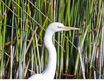 白色白鹭的画象 免版税库存照片