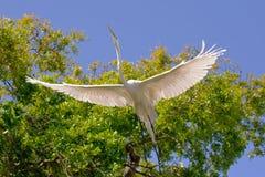 白色白鹭翼展 库存照片