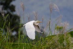白色白鹭飞行的图象在自然本底的 敌意 库存照片
