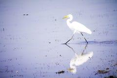 白色白鹭鸟 库存图片