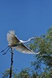 白色白鹭,在多瑙河三角洲的苍鹭 免版税库存照片