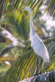 白色白鹭,多米尼加共和国 免版税库存照片