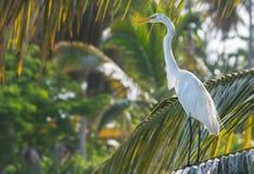 白色白鹭,多米尼加共和国 免版税图库摄影