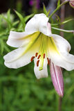 白色百合属植物款待特写镜头 免版税图库摄影