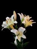 白色百合属植物花花束  库存照片