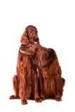 白色的两条爱尔兰赤毛的塞特种猎狗 免版税库存照片