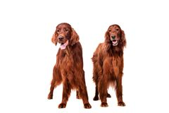 白色的两条爱尔兰赤毛的塞特种猎狗 免版税图库摄影