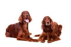 白色的两条爱尔兰赤毛的塞特种猎狗 免版税库存图片